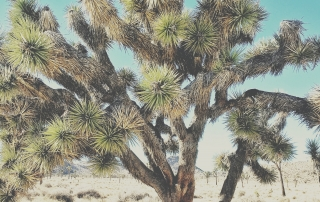 joshua tree jypsy threads